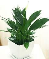 武汉大型绿植平安树盆栽,平安吉祥家庭优选绿植平安树盆栽可租摆