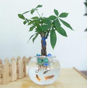 武汉同城植物基地非洲茉莉盆栽,可吸甲醛的大型绿植灰莉盆景