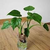武汉新房新办公室吸甲醛大虎皮兰盆栽,净化空气的植物虎尾兰绿植;