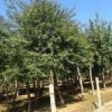 2018最新曓马丁香j价格、优质绿化苗木直销、运城春秋园林;