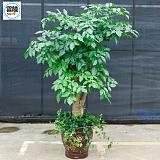 武汉公司绿植花木送货上门,绿化苗木盆栽租售维护服务;