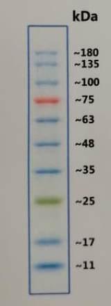 预染彩虹蛋白Marker 10-180KD