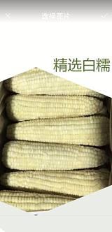 黑龙江牡丹江粘玉米鲜食粘玉米绿色无公害